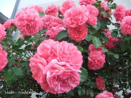 3дравствуйте, здравствуйте все!!!!У нас наконец кончились дожди и я сфотографировала новую работу в технике пейп -арт - автор Таня Сорокина.    http://stranamasterov.ru/user/151613   Сегодня у меня тарелочка с розами.... фото 8