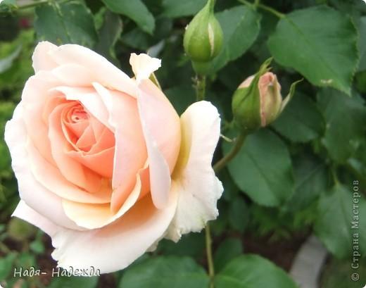 3дравствуйте, здравствуйте все!!!!У нас наконец кончились дожди и я сфотографировала новую работу в технике пейп -арт - автор Таня Сорокина.    http://stranamasterov.ru/user/151613   Сегодня у меня тарелочка с розами.... фото 12