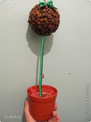 Мое первое и пока единственное кофейное дерево Понимаю, что оно не самое изысканное, но теперь я немного знаю, как сделать лучше)) фото 2