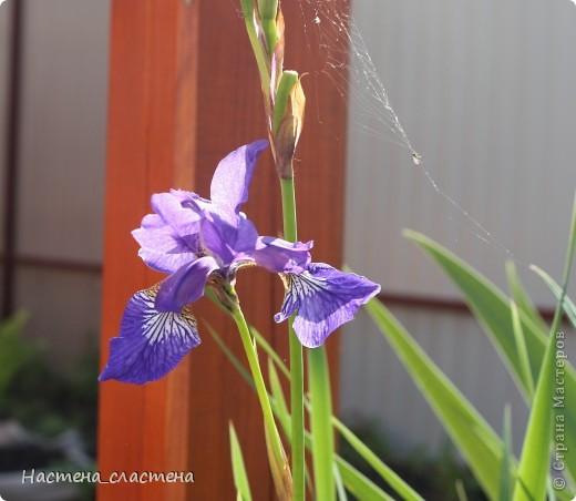 Приглашаю всех прогуляться по нашему саду!!! Посмотрите, какие яркие гвоздички! фото 3