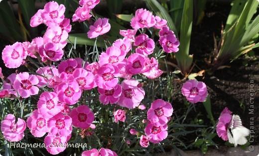 Приглашаю всех прогуляться по нашему саду!!! Посмотрите, какие яркие гвоздички! фото 1