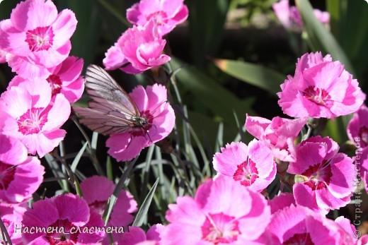 Приглашаю всех прогуляться по нашему саду!!! Посмотрите, какие яркие гвоздички! фото 14