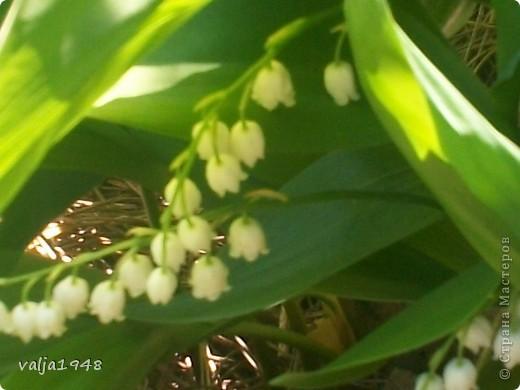 Здравствуйте  дорогие  жители  Страны  Мастеров! Весна  прошла !  .Уже цветут  другие цветы! Отцвели  ландыши,  а я решила  их  сохранить  в квиллинге. Делала  по  МК  Ольги  Ольшак. Очень старалась, а как получилось  судить вам! фото 7