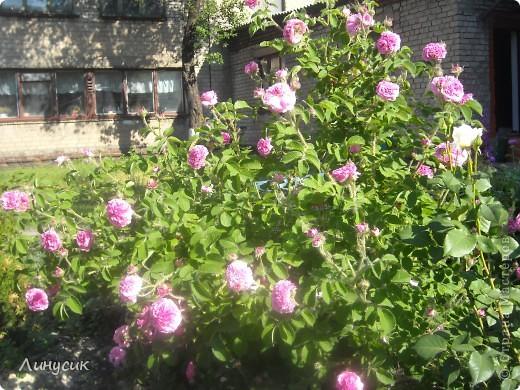 Чудесные розы фото 49