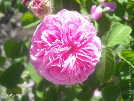 Чудесные розы фото 50
