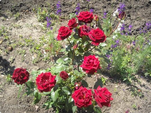 Чудесные розы фото 1