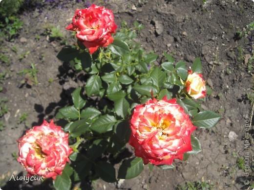 Чудесные розы фото 3