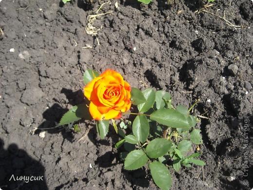 Чудесные розы фото 4