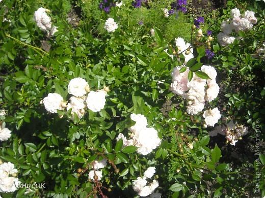 Чудесные розы фото 7