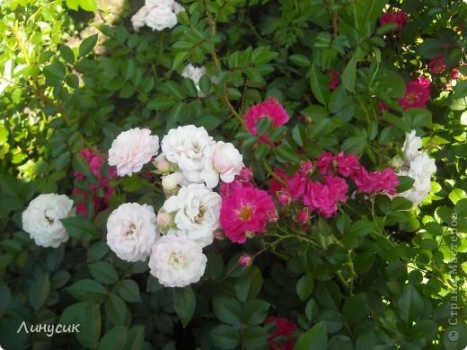 Чудесные розы фото 5
