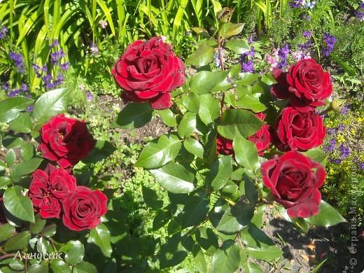 Чудесные розы фото 6