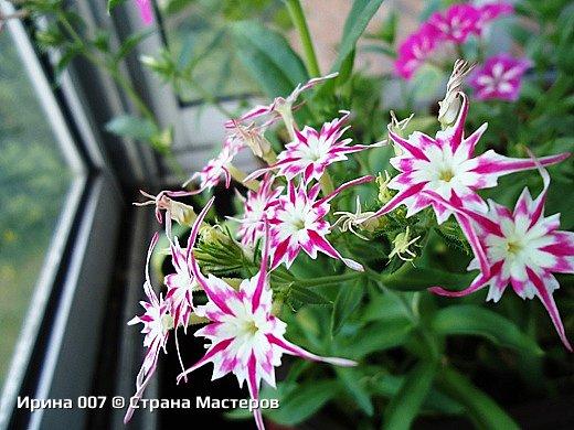 Наконец, добралась до цветов. А то что-то насекомыми увлеклась последнее время... Это покупные гвоздики. Не могла пройти мимо такой красоты. Надеюсь, приятного просмотра! фото 15