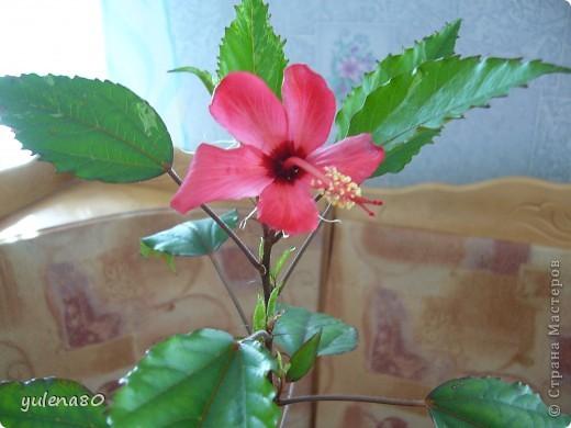 """Мой """"домашне-цветоводческий"""" стаж совсем небольшой - около 10 лет. Раньше просто растишки стояли на окне, стоят и стоят, просто растут. Чаще всего я покупала растения в магазинах. Года 3-4 назад я  по-другому стала смотреть на моих зеленых домочадцев, появился интерес выращивать растения из семян. На этом фото мои пока еще малявки. Драцену погрыз кот, пришлось сделать ей стрижку. Фикус (здесь ему 2 года) теперь стал выше меня, с кротоном пришлось повозиться... Ну, обо всем по порядку. фото 19"""