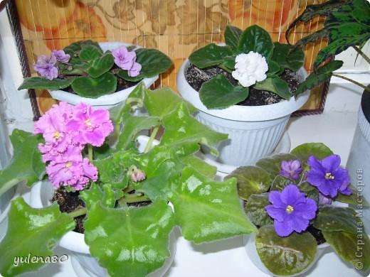 """Мой """"домашне-цветоводческий"""" стаж совсем небольшой - около 10 лет. Раньше просто растишки стояли на окне, стоят и стоят, просто растут. Чаще всего я покупала растения в магазинах. Года 3-4 назад я  по-другому стала смотреть на моих зеленых домочадцев, появился интерес выращивать растения из семян. На этом фото мои пока еще малявки. Драцену погрыз кот, пришлось сделать ей стрижку. Фикус (здесь ему 2 года) теперь стал выше меня, с кротоном пришлось повозиться... Ну, обо всем по порядку. фото 25"""