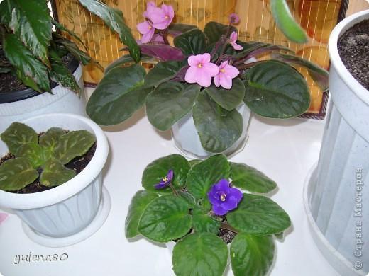 """Мой """"домашне-цветоводческий"""" стаж совсем небольшой - около 10 лет. Раньше просто растишки стояли на окне, стоят и стоят, просто растут. Чаще всего я покупала растения в магазинах. Года 3-4 назад я  по-другому стала смотреть на моих зеленых домочадцев, появился интерес выращивать растения из семян. На этом фото мои пока еще малявки. Драцену погрыз кот, пришлось сделать ей стрижку. Фикус (здесь ему 2 года) теперь стал выше меня, с кротоном пришлось повозиться... Ну, обо всем по порядку. фото 26"""