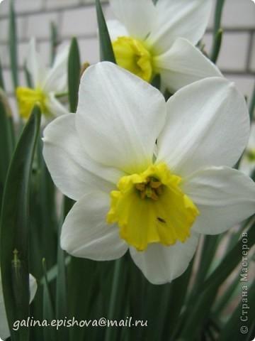 Великолепные весенние цветы,очень нежные, очень красивые, самое главное - одни из первых! А как просто их сделать! Поэтому не удержалась обойти их своим вниманием. Делала их по МК Татьяны Просняковой - Цветок водяного бога. А как похожи на оригинал. фото 2