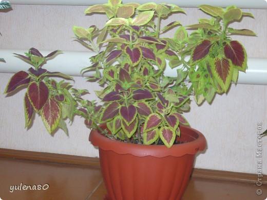 """Мой """"домашне-цветоводческий"""" стаж совсем небольшой - около 10 лет. Раньше просто растишки стояли на окне, стоят и стоят, просто растут. Чаще всего я покупала растения в магазинах. Года 3-4 назад я  по-другому стала смотреть на моих зеленых домочадцев, появился интерес выращивать растения из семян. На этом фото мои пока еще малявки. Драцену погрыз кот, пришлось сделать ей стрижку. Фикус (здесь ему 2 года) теперь стал выше меня, с кротоном пришлось повозиться... Ну, обо всем по порядку. фото 7"""