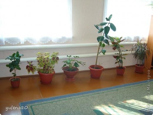 """Мой """"домашне-цветоводческий"""" стаж совсем небольшой - около 10 лет. Раньше просто растишки стояли на окне, стоят и стоят, просто растут. Чаще всего я покупала растения в магазинах. Года 3-4 назад я  по-другому стала смотреть на моих зеленых домочадцев, появился интерес выращивать растения из семян. На этом фото мои пока еще малявки. Драцену погрыз кот, пришлось сделать ей стрижку. Фикус (здесь ему 2 года) теперь стал выше меня, с кротоном пришлось повозиться... Ну, обо всем по порядку. фото 8"""
