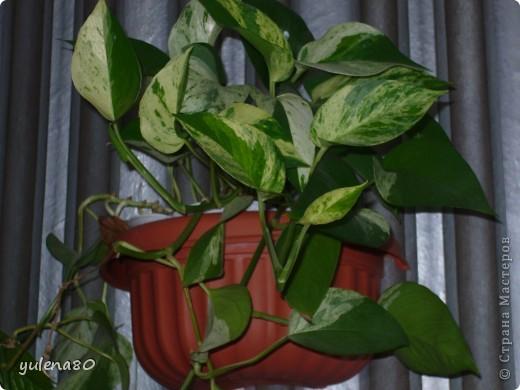 """Мой """"домашне-цветоводческий"""" стаж совсем небольшой - около 10 лет. Раньше просто растишки стояли на окне, стоят и стоят, просто растут. Чаще всего я покупала растения в магазинах. Года 3-4 назад я  по-другому стала смотреть на моих зеленых домочадцев, появился интерес выращивать растения из семян. На этом фото мои пока еще малявки. Драцену погрыз кот, пришлось сделать ей стрижку. Фикус (здесь ему 2 года) теперь стал выше меня, с кротоном пришлось повозиться... Ну, обо всем по порядку. фото 10"""