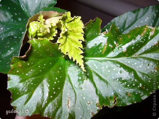 """Мой """"домашне-цветоводческий"""" стаж совсем небольшой - около 10 лет. Раньше просто растишки стояли на окне, стоят и стоят, просто растут. Чаще всего я покупала растения в магазинах. Года 3-4 назад я  по-другому стала смотреть на моих зеленых домочадцев, появился интерес выращивать растения из семян. На этом фото мои пока еще малявки. Драцену погрыз кот, пришлось сделать ей стрижку. Фикус (здесь ему 2 года) теперь стал выше меня, с кротоном пришлось повозиться... Ну, обо всем по порядку. фото 13"""