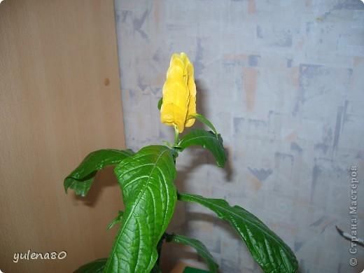 """Мой """"домашне-цветоводческий"""" стаж совсем небольшой - около 10 лет. Раньше просто растишки стояли на окне, стоят и стоят, просто растут. Чаще всего я покупала растения в магазинах. Года 3-4 назад я  по-другому стала смотреть на моих зеленых домочадцев, появился интерес выращивать растения из семян. На этом фото мои пока еще малявки. Драцену погрыз кот, пришлось сделать ей стрижку. Фикус (здесь ему 2 года) теперь стал выше меня, с кротоном пришлось повозиться... Ну, обо всем по порядку. фото 2"""