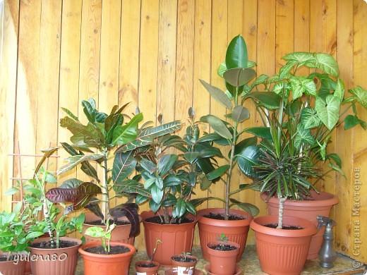 """Мой """"домашне-цветоводческий"""" стаж совсем небольшой - около 10 лет. Раньше просто растишки стояли на окне, стоят и стоят, просто растут. Чаще всего я покупала растения в магазинах. Года 3-4 назад я  по-другому стала смотреть на моих зеленых домочадцев, появился интерес выращивать растения из семян. На этом фото мои пока еще малявки. Драцену погрыз кот, пришлось сделать ей стрижку. Фикус (здесь ему 2 года) теперь стал выше меня, с кротоном пришлось повозиться... Ну, обо всем по порядку. фото 1"""