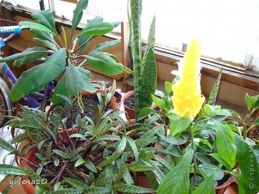 """Мой """"домашне-цветоводческий"""" стаж совсем небольшой - около 10 лет. Раньше просто растишки стояли на окне, стоят и стоят, просто растут. Чаще всего я покупала растения в магазинах. Года 3-4 назад я  по-другому стала смотреть на моих зеленых домочадцев, появился интерес выращивать растения из семян. На этом фото мои пока еще малявки. Драцену погрыз кот, пришлось сделать ей стрижку. Фикус (здесь ему 2 года) теперь стал выше меня, с кротоном пришлось повозиться... Ну, обо всем по порядку. фото 3"""