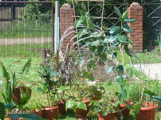 """Мой """"домашне-цветоводческий"""" стаж совсем небольшой - около 10 лет. Раньше просто растишки стояли на окне, стоят и стоят, просто растут. Чаще всего я покупала растения в магазинах. Года 3-4 назад я  по-другому стала смотреть на моих зеленых домочадцев, появился интерес выращивать растения из семян. На этом фото мои пока еще малявки. Драцену погрыз кот, пришлось сделать ей стрижку. Фикус (здесь ему 2 года) теперь стал выше меня, с кротоном пришлось повозиться... Ну, обо всем по порядку. фото 28"""