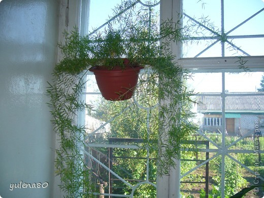 """Мой """"домашне-цветоводческий"""" стаж совсем небольшой - около 10 лет. Раньше просто растишки стояли на окне, стоят и стоят, просто растут. Чаще всего я покупала растения в магазинах. Года 3-4 назад я  по-другому стала смотреть на моих зеленых домочадцев, появился интерес выращивать растения из семян. На этом фото мои пока еще малявки. Драцену погрыз кот, пришлось сделать ей стрижку. Фикус (здесь ему 2 года) теперь стал выше меня, с кротоном пришлось повозиться... Ну, обо всем по порядку. фото 15"""