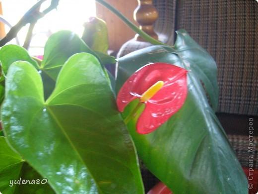 """Мой """"домашне-цветоводческий"""" стаж совсем небольшой - около 10 лет. Раньше просто растишки стояли на окне, стоят и стоят, просто растут. Чаще всего я покупала растения в магазинах. Года 3-4 назад я  по-другому стала смотреть на моих зеленых домочадцев, появился интерес выращивать растения из семян. На этом фото мои пока еще малявки. Драцену погрыз кот, пришлось сделать ей стрижку. Фикус (здесь ему 2 года) теперь стал выше меня, с кротоном пришлось повозиться... Ну, обо всем по порядку. фото 17"""