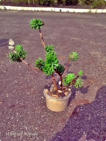 деревья из шишек фото 1