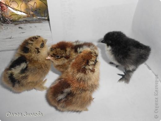 Опять у меня птичья тема... Курочка Ряба несет золотые яички.Почему именно курочку, я разглядела в старой коряги. Наверно в ожидание выводка цыплят непростых, а золотых.  Добилась 5  яичек породистых  бентамских  маленьких курочек.  Давным давно я держала  наподобие таких,но они не были такие пушистые. И вот свершилось. Из всех 5 яичек появились симпатичные цыплята! фото 2