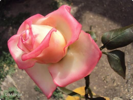 Всегда просматривала  в стране мастеров большие розы и тихо завидовала, не решаясь на такой подвиг- сделать розу во весь рост.Но вот всё таки слепила, на первый раз пойдёт.Листья забыла сделать зубчиками,извиняйте.Лепила по памяти. фото 3