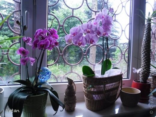 Привет привет!!! Это снова я!!!  И не с пустыми руками, а с ОРХИДЕЙКАМИ!!!!  Есть легенда о происхождении этих чудо цветов, хотите ее узнать? Мне кажется это интересно  У одного из новозеландских племён есть древняя легенда о божественном происхождении орхидей.   В то далёкое время, когда над необозримой водной гладью возвышались только заснеженные вершины гор, солнце иногда подтапливало снег, и вода бурными потоками стекала с гор, превращаясь в красивые бурлящие водопады.   Водопады вливались в океан, а часть воды испарялась, образуя густые белые облака. Они-то и мешали солнцу смотреть на землю.   Солнце решило разрушить этот непроницаемый покров, и на землю полился тропический ливень, а когда он кончился, воссияла радуга неописуемой красоты, которая обняла всё небо.   Бессмертные духи, обитающие на земле, были восхищены этим царственным зрелищем и стали слетаться к радуге, усаживаясь на сверкающем всеми красками мосту. Места всем не хватало, они толкались и ссорились…   Но потом, усевшись на радугу, запели хором. Радуга же прогибалась под их тяжестью до тех пор, пока не переломилась и не рухнула на землю, где и разлетелась на мелкие частички.   Разноцветной пылью осыпались они на землю, а те, что упали на деревья, превратились в орхидеи.   И ни один цветок потом не решился оспаривать право орхидеи называться королевой всех цветов.  Подсмотрела здесь: http://www.myjane.ru/articles/text/?id=7936  Полюбуйтесь на моих красавиц....  Надеюсь никто не останется равнодушным, их просто невозможно нелюбить!!!  Приятного просмотра!  Не комментирую и так все понятно :) фото 1