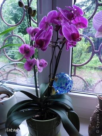Привет привет!!! Это снова я!!!  И не с пустыми руками, а с ОРХИДЕЙКАМИ!!!!  Есть легенда о происхождении этих чудо цветов, хотите ее узнать? Мне кажется это интересно  У одного из новозеландских племён есть древняя легенда о божественном происхождении орхидей.   В то далёкое время, когда над необозримой водной гладью возвышались только заснеженные вершины гор, солнце иногда подтапливало снег, и вода бурными потоками стекала с гор, превращаясь в красивые бурлящие водопады.   Водопады вливались в океан, а часть воды испарялась, образуя густые белые облака. Они-то и мешали солнцу смотреть на землю.   Солнце решило разрушить этот непроницаемый покров, и на землю полился тропический ливень, а когда он кончился, воссияла радуга неописуемой красоты, которая обняла всё небо.   Бессмертные духи, обитающие на земле, были восхищены этим царственным зрелищем и стали слетаться к радуге, усаживаясь на сверкающем всеми красками мосту. Места всем не хватало, они толкались и ссорились…   Но потом, усевшись на радугу, запели хором. Радуга же прогибалась под их тяжестью до тех пор, пока не переломилась и не рухнула на землю, где и разлетелась на мелкие частички.   Разноцветной пылью осыпались они на землю, а те, что упали на деревья, превратились в орхидеи.   И ни один цветок потом не решился оспаривать право орхидеи называться королевой всех цветов.  Подсмотрела здесь: http://www.myjane.ru/articles/text/?id=7936  Полюбуйтесь на моих красавиц....  Надеюсь никто не останется равнодушным, их просто невозможно нелюбить!!!  Приятного просмотра!  Не комментирую и так все понятно :) фото 2