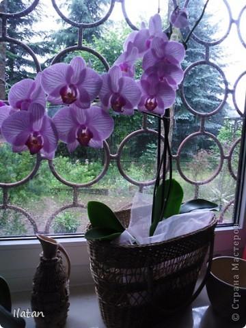 Привет привет!!! Это снова я!!!  И не с пустыми руками, а с ОРХИДЕЙКАМИ!!!!  Есть легенда о происхождении этих чудо цветов, хотите ее узнать? Мне кажется это интересно  У одного из новозеландских племён есть древняя легенда о божественном происхождении орхидей.   В то далёкое время, когда над необозримой водной гладью возвышались только заснеженные вершины гор, солнце иногда подтапливало снег, и вода бурными потоками стекала с гор, превращаясь в красивые бурлящие водопады.   Водопады вливались в океан, а часть воды испарялась, образуя густые белые облака. Они-то и мешали солнцу смотреть на землю.   Солнце решило разрушить этот непроницаемый покров, и на землю полился тропический ливень, а когда он кончился, воссияла радуга неописуемой красоты, которая обняла всё небо.   Бессмертные духи, обитающие на земле, были восхищены этим царственным зрелищем и стали слетаться к радуге, усаживаясь на сверкающем всеми красками мосту. Места всем не хватало, они толкались и ссорились…   Но потом, усевшись на радугу, запели хором. Радуга же прогибалась под их тяжестью до тех пор, пока не переломилась и не рухнула на землю, где и разлетелась на мелкие частички.   Разноцветной пылью осыпались они на землю, а те, что упали на деревья, превратились в орхидеи.   И ни один цветок потом не решился оспаривать право орхидеи называться королевой всех цветов.  Подсмотрела здесь: http://www.myjane.ru/articles/text/?id=7936  Полюбуйтесь на моих красавиц....  Надеюсь никто не останется равнодушным, их просто невозможно нелюбить!!!  Приятного просмотра!  Не комментирую и так все понятно :) фото 8