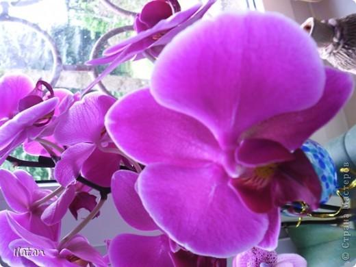 Привет привет!!! Это снова я!!!  И не с пустыми руками, а с ОРХИДЕЙКАМИ!!!!  Есть легенда о происхождении этих чудо цветов, хотите ее узнать? Мне кажется это интересно  У одного из новозеландских племён есть древняя легенда о божественном происхождении орхидей.   В то далёкое время, когда над необозримой водной гладью возвышались только заснеженные вершины гор, солнце иногда подтапливало снег, и вода бурными потоками стекала с гор, превращаясь в красивые бурлящие водопады.   Водопады вливались в океан, а часть воды испарялась, образуя густые белые облака. Они-то и мешали солнцу смотреть на землю.   Солнце решило разрушить этот непроницаемый покров, и на землю полился тропический ливень, а когда он кончился, воссияла радуга неописуемой красоты, которая обняла всё небо.   Бессмертные духи, обитающие на земле, были восхищены этим царственным зрелищем и стали слетаться к радуге, усаживаясь на сверкающем всеми красками мосту. Места всем не хватало, они толкались и ссорились…   Но потом, усевшись на радугу, запели хором. Радуга же прогибалась под их тяжестью до тех пор, пока не переломилась и не рухнула на землю, где и разлетелась на мелкие частички.   Разноцветной пылью осыпались они на землю, а те, что упали на деревья, превратились в орхидеи.   И ни один цветок потом не решился оспаривать право орхидеи называться королевой всех цветов.  Подсмотрела здесь: http://www.myjane.ru/articles/text/?id=7936  Полюбуйтесь на моих красавиц....  Надеюсь никто не останется равнодушным, их просто невозможно нелюбить!!!  Приятного просмотра!  Не комментирую и так все понятно :) фото 11