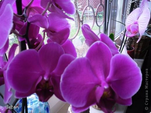 Привет привет!!! Это снова я!!!  И не с пустыми руками, а с ОРХИДЕЙКАМИ!!!!  Есть легенда о происхождении этих чудо цветов, хотите ее узнать? Мне кажется это интересно  У одного из новозеландских племён есть древняя легенда о божественном происхождении орхидей.   В то далёкое время, когда над необозримой водной гладью возвышались только заснеженные вершины гор, солнце иногда подтапливало снег, и вода бурными потоками стекала с гор, превращаясь в красивые бурлящие водопады.   Водопады вливались в океан, а часть воды испарялась, образуя густые белые облака. Они-то и мешали солнцу смотреть на землю.   Солнце решило разрушить этот непроницаемый покров, и на землю полился тропический ливень, а когда он кончился, воссияла радуга неописуемой красоты, которая обняла всё небо.   Бессмертные духи, обитающие на земле, были восхищены этим царственным зрелищем и стали слетаться к радуге, усаживаясь на сверкающем всеми красками мосту. Места всем не хватало, они толкались и ссорились…   Но потом, усевшись на радугу, запели хором. Радуга же прогибалась под их тяжестью до тех пор, пока не переломилась и не рухнула на землю, где и разлетелась на мелкие частички.   Разноцветной пылью осыпались они на землю, а те, что упали на деревья, превратились в орхидеи.   И ни один цветок потом не решился оспаривать право орхидеи называться королевой всех цветов.  Подсмотрела здесь: http://www.myjane.ru/articles/text/?id=7936  Полюбуйтесь на моих красавиц....  Надеюсь никто не останется равнодушным, их просто невозможно нелюбить!!!  Приятного просмотра!  Не комментирую и так все понятно :) фото 12