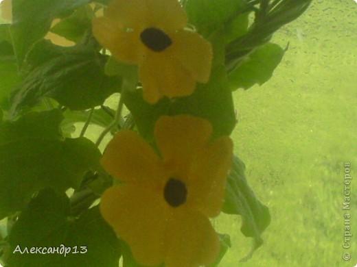 Тунбергия- быстрорастущая лиана. фото 1