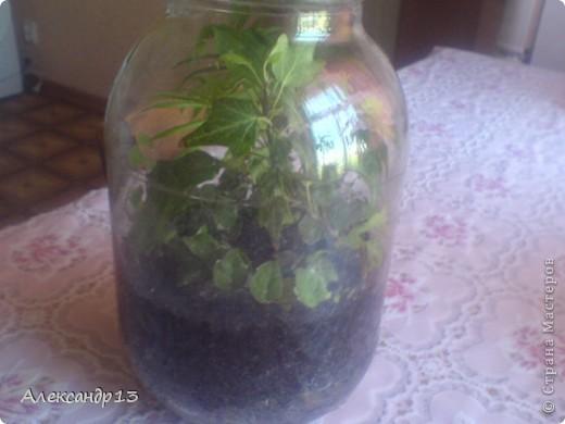 Тунбергия- быстрорастущая лиана. фото 8