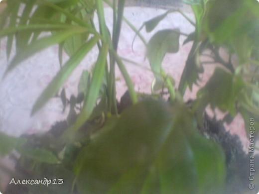Тунбергия- быстрорастущая лиана. фото 9