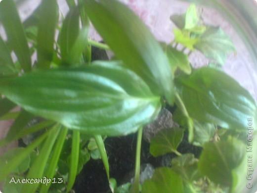 Тунбергия- быстрорастущая лиана. фото 10