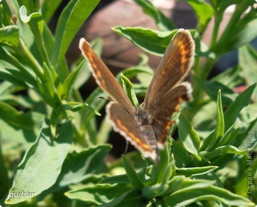 Не знаю, что нашло на бабочку, но ей, наверное, так понравилось фотографироваться, что она решила попозировать мне на моей же руке. фото 9