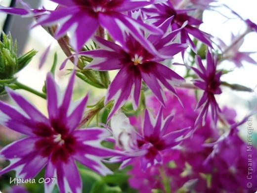 Решила запечатлеть флоксы в период бурного цветения. Скоро начну собирать семена. Приятного просмотра! фото 8
