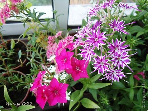 Решила запечатлеть флоксы в период бурного цветения. Скоро начну собирать семена. Приятного просмотра! фото 12