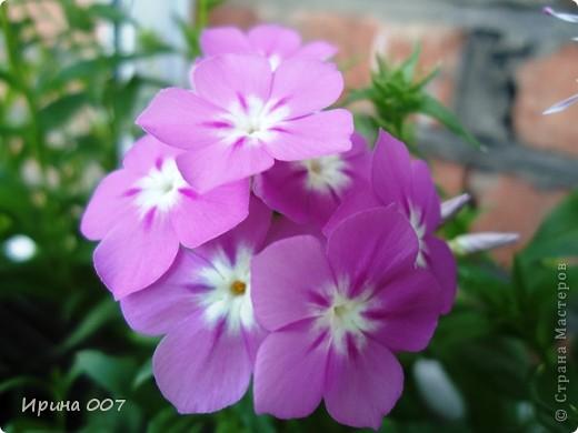 Решила запечатлеть флоксы в период бурного цветения. Скоро начну собирать семена. Приятного просмотра! фото 13