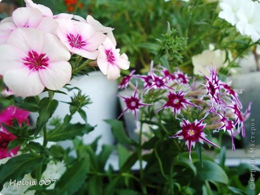 Решила запечатлеть флоксы в период бурного цветения. Скоро начну собирать семена. Приятного просмотра! фото 18