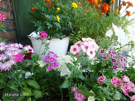 Решила запечатлеть флоксы в период бурного цветения. Скоро начну собирать семена. Приятного просмотра! фото 20