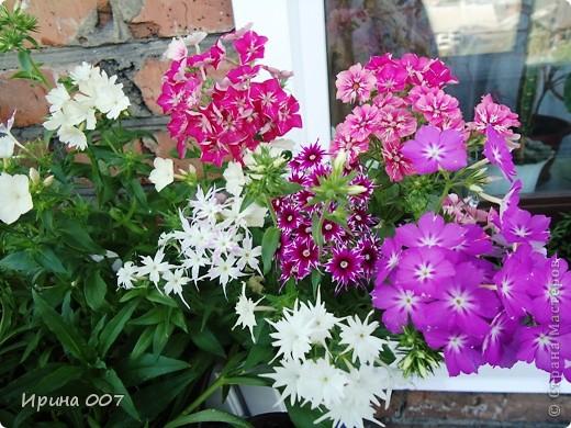 Решила запечатлеть флоксы в период бурного цветения. Скоро начну собирать семена. Приятного просмотра! фото 21