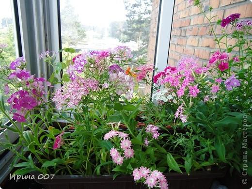 Решила запечатлеть флоксы в период бурного цветения. Скоро начну собирать семена. Приятного просмотра! фото 23